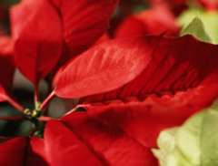 History of the Poinsettia